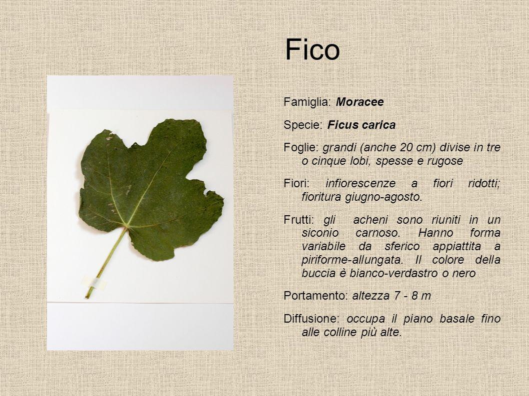 Fico Famiglia: Moracee Specie: Ficus carica