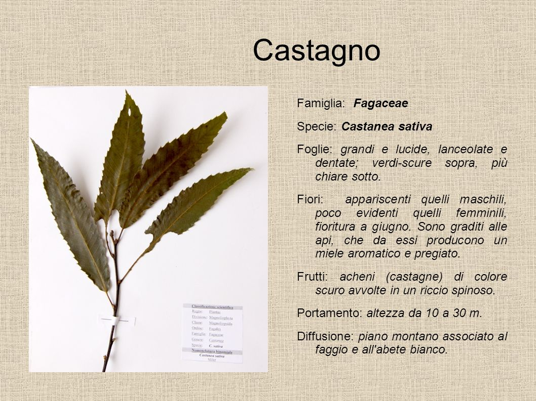 Castagno Famiglia: Fagaceae Specie: Castanea sativa