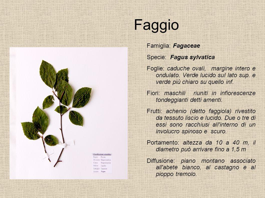 Faggio Famiglia: Fagaceae Specie: Fagus sylvatica