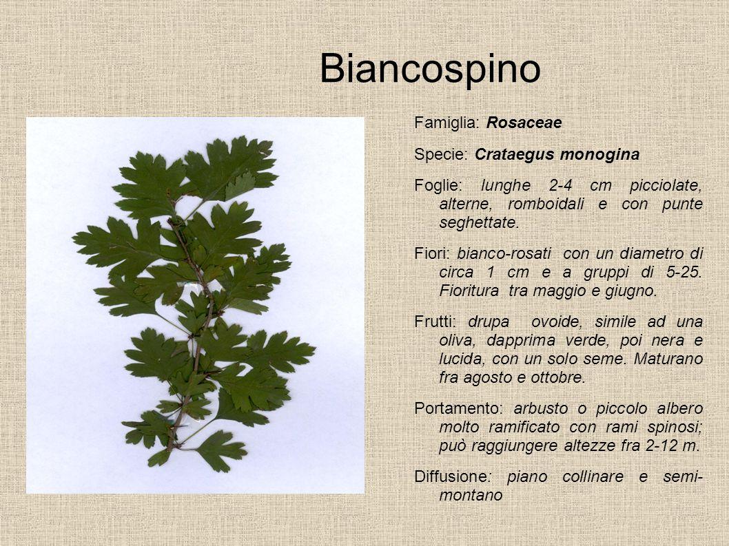 Biancospino Famiglia: Rosaceae Specie: Crataegus monogina