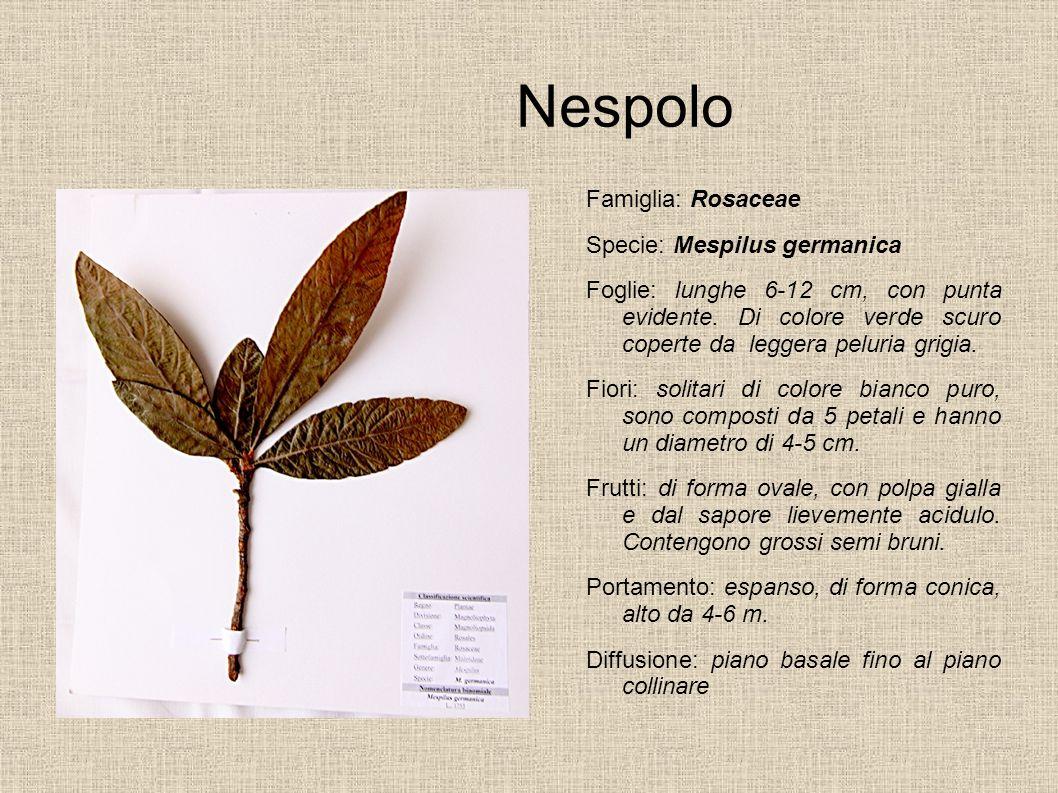 Nespolo Famiglia: Rosaceae Specie: Mespilus germanica