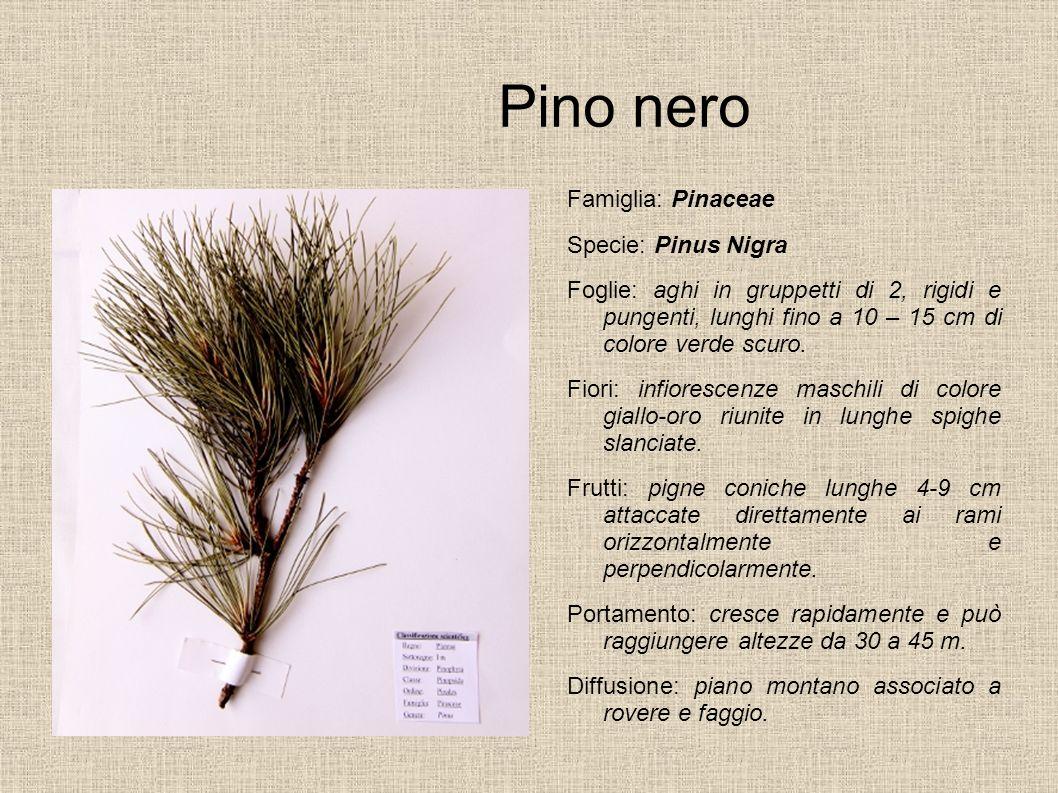 Pino nero Famiglia: Pinaceae Specie: Pinus Nigra
