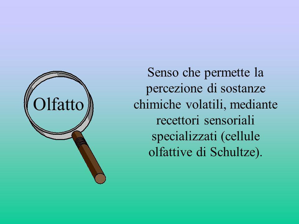 Senso che permette la percezione di sostanze chimiche volatili, mediante recettori sensoriali specializzati (cellule olfattive di Schultze).