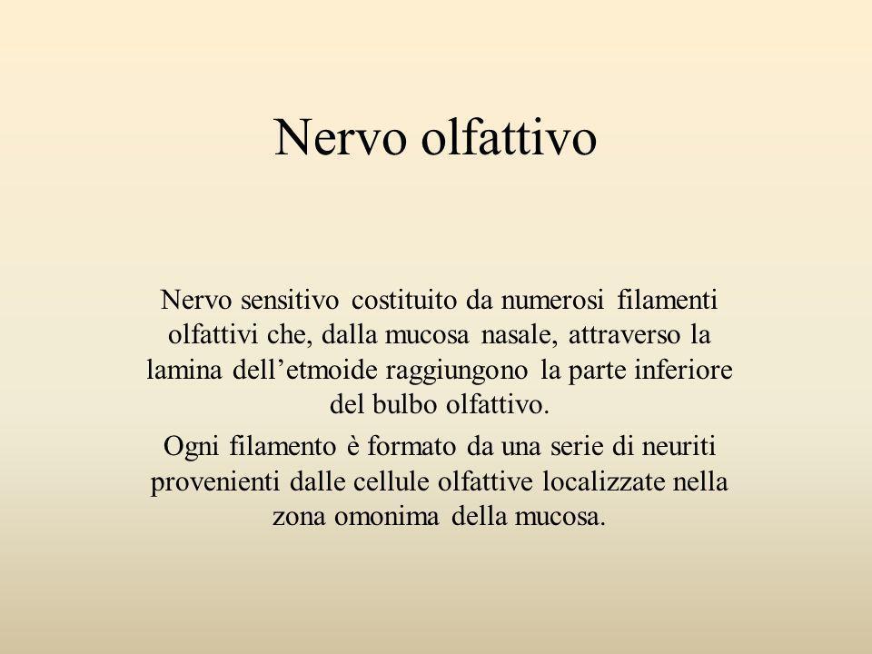Nervo olfattivo