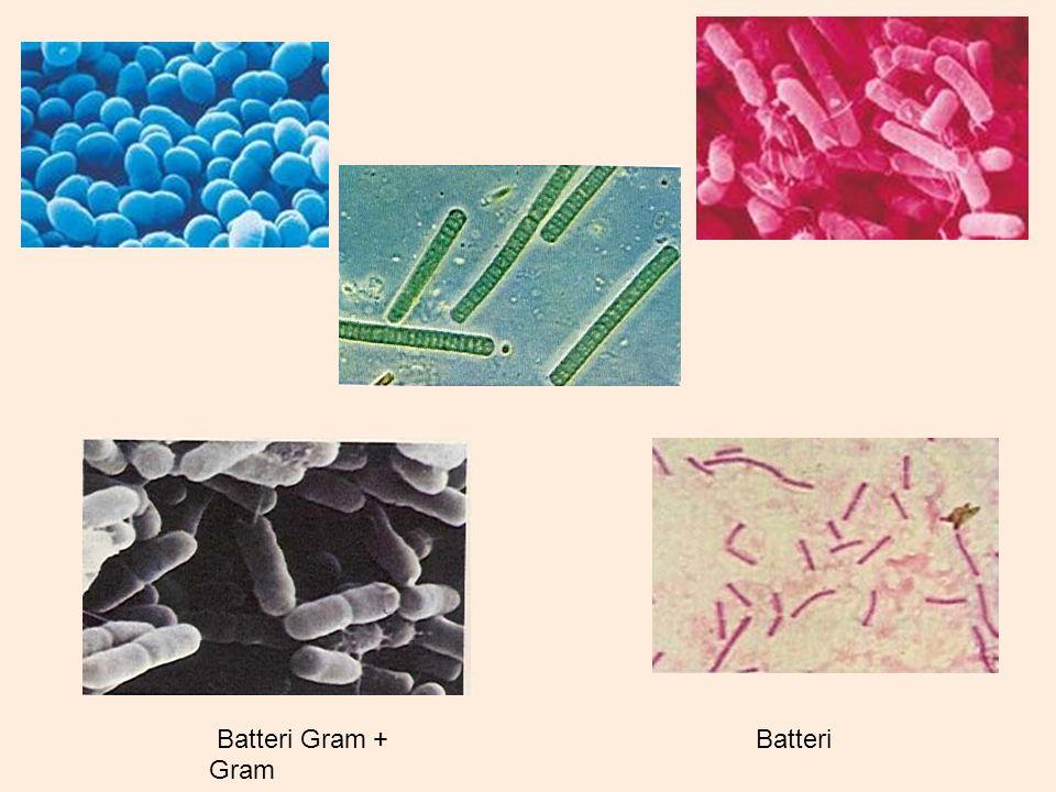 Batteri Gram + Batteri Gram