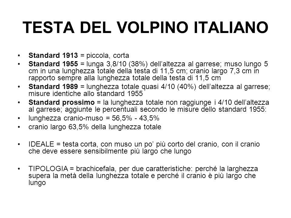 TESTA DEL VOLPINO ITALIANO