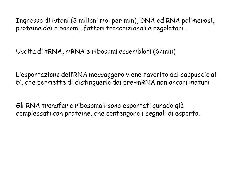 Ingresso di istoni (3 milioni mol per min), DNA ed RNA polimerasi, proteine dei ribosomi, fattori trascrizionali e regolatori .