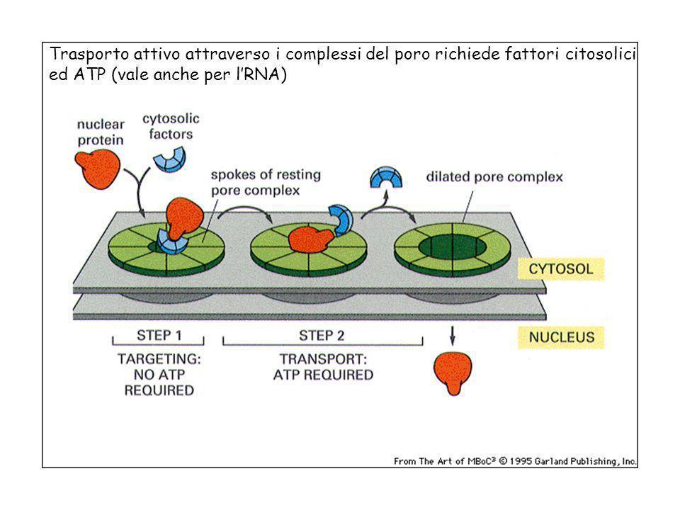 Trasporto attivo attraverso i complessi del poro richiede fattori citosolici ed ATP (vale anche per l'RNA)