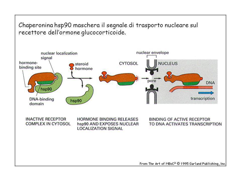 Chaperonina hsp90 maschera il segnale di trasporto nucleare sul recettore dell'ormone glucocorticoide.