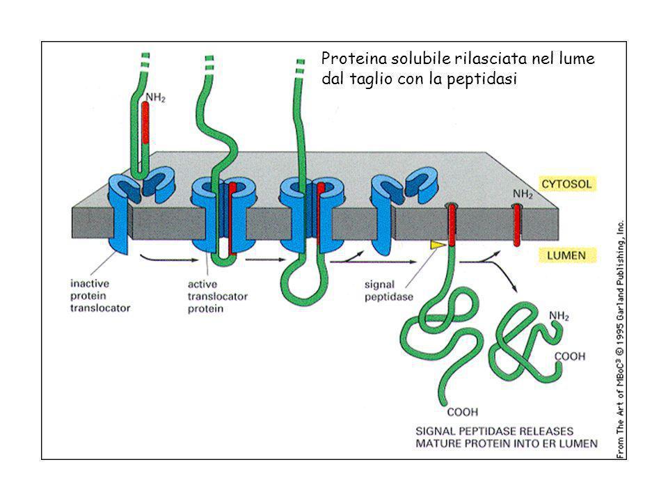Proteina solubile rilasciata nel lume