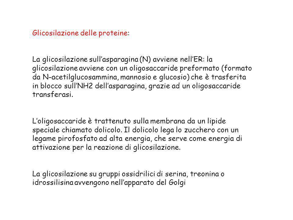 Glicosilazione delle proteine: