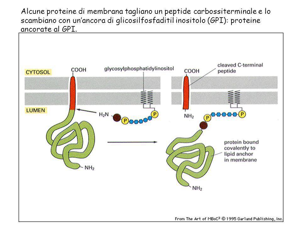 Alcune proteine di membrana tagliano un peptide carbossiterminale e lo scambiano con un'ancora di glicosilfosfaditil inositolo (GPI): proteine ancorate al GPI.