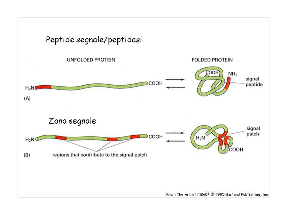 Peptide segnale/peptidasi