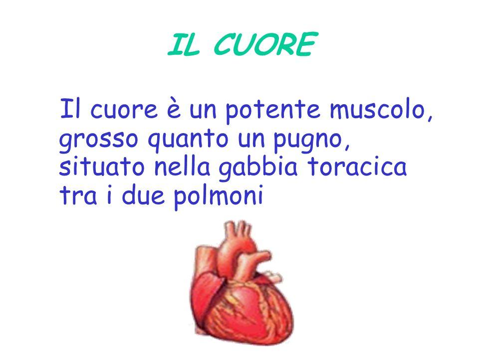 IL CUORE Il cuore è un potente muscolo, grosso quanto un pugno, situato nella gabbia toracica tra i due polmoni.