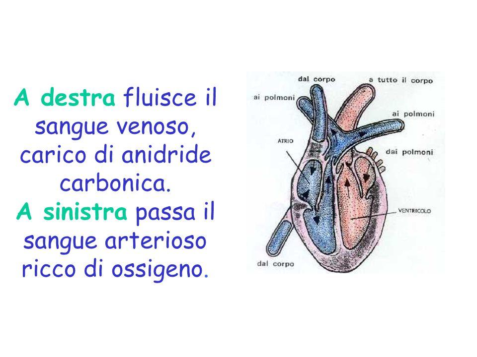A destra fluisce il sangue venoso, carico di anidride carbonica
