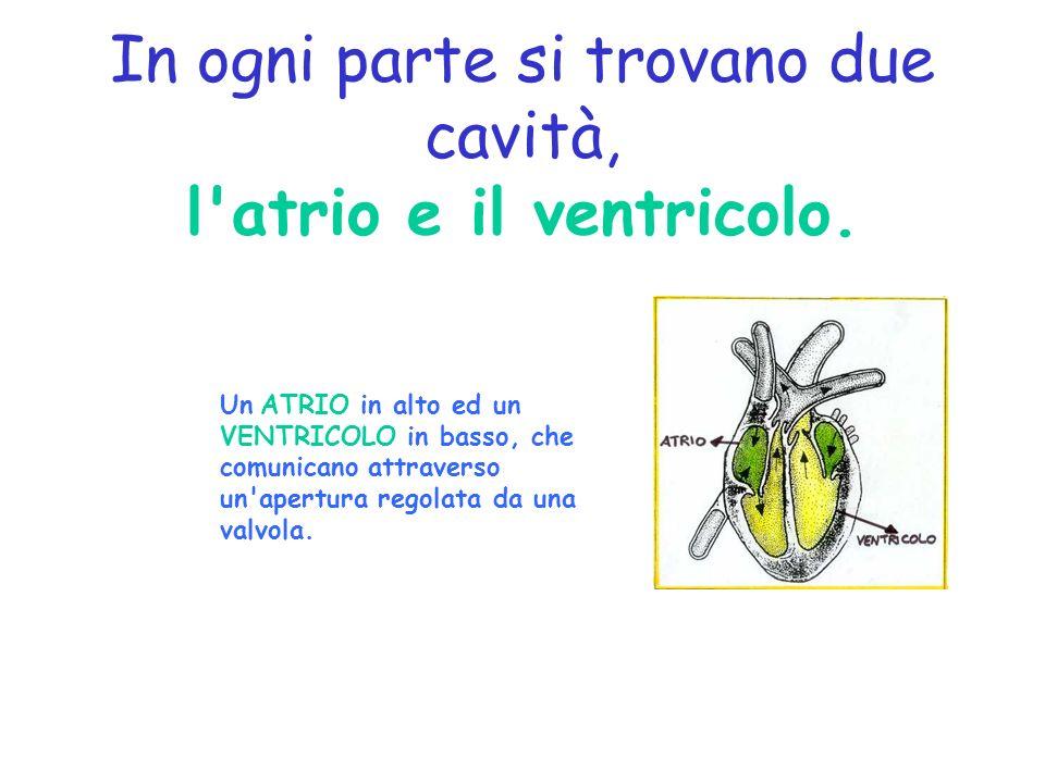 In ogni parte si trovano due cavità, l atrio e il ventricolo.