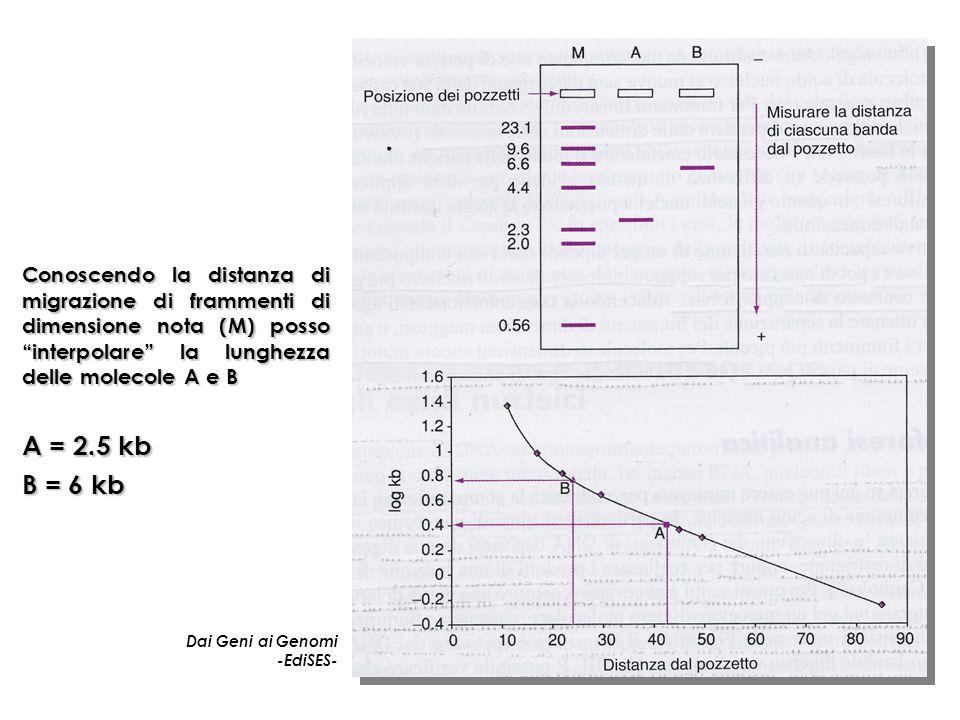 Conoscendo la distanza di migrazione di frammenti di dimensione nota (M) posso interpolare la lunghezza delle molecole A e B