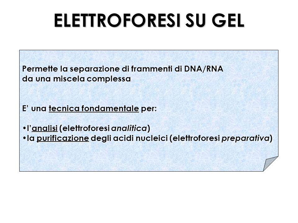 ELETTROFORESI SU GEL Permette la separazione di frammenti di DNA/RNA
