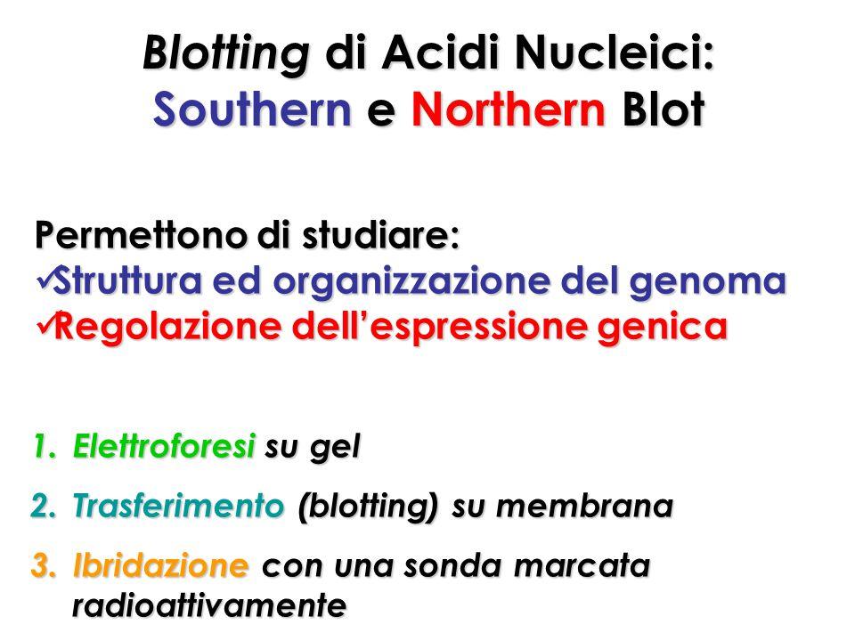 Blotting di Acidi Nucleici: Southern e Northern Blot