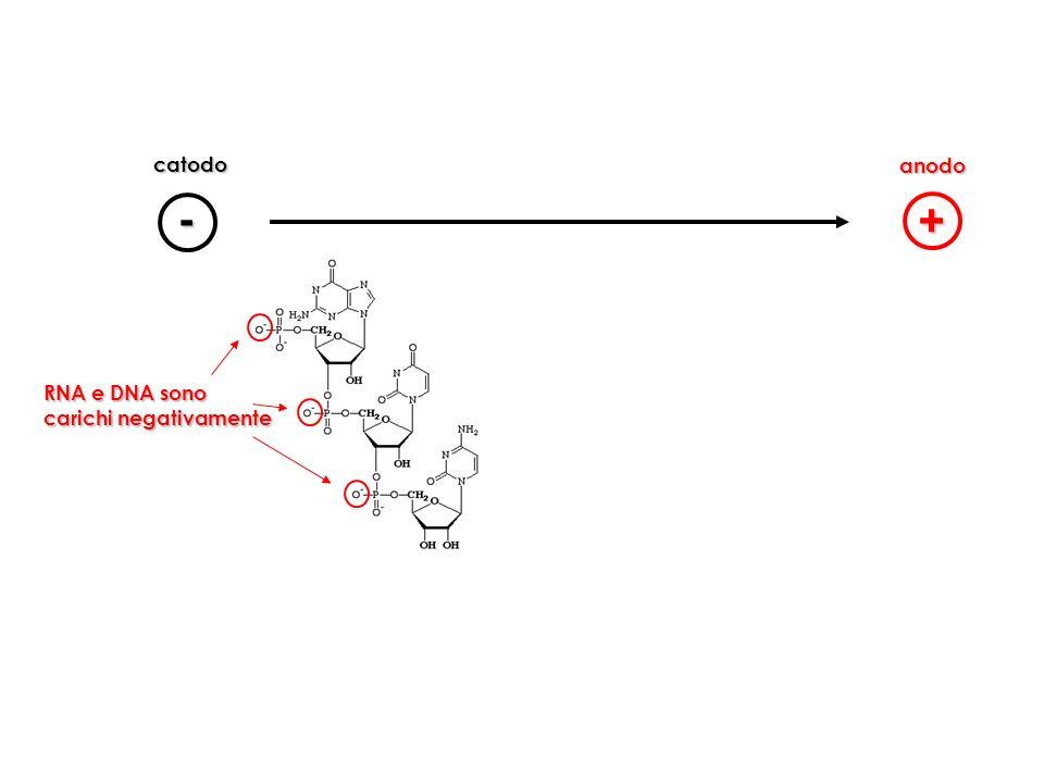 catodo anodo - + RNA e DNA sono carichi negativamente