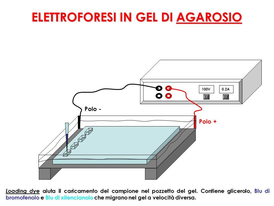 ELETTROFORESI IN GEL DI AGAROSIO