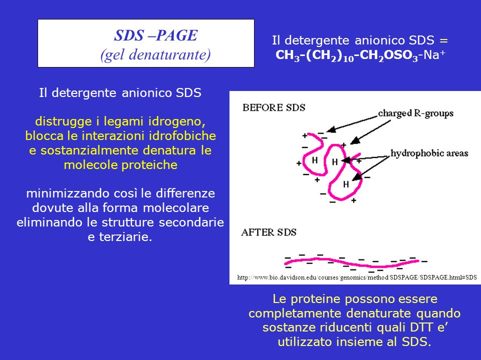 SDS –PAGE (gel denaturante)