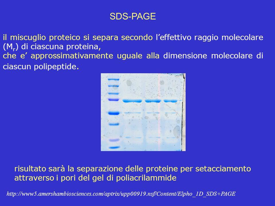 SDS-PAGE il miscuglio proteico si separa secondo l'effettivo raggio molecolare (Mr) di ciascuna proteina,