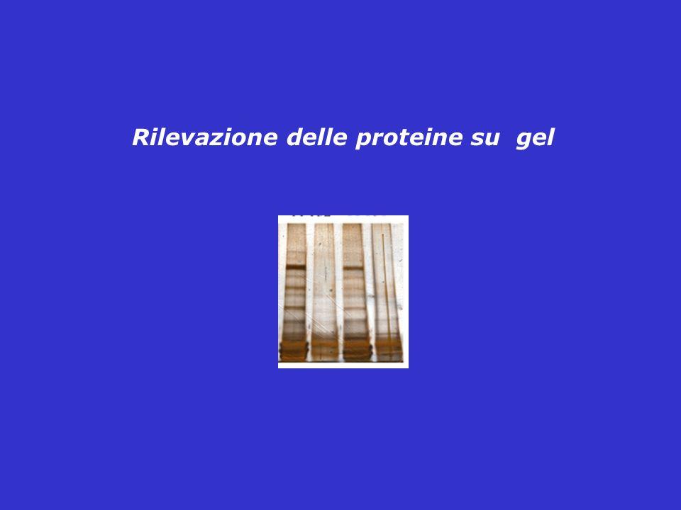 Rilevazione delle proteine su gel