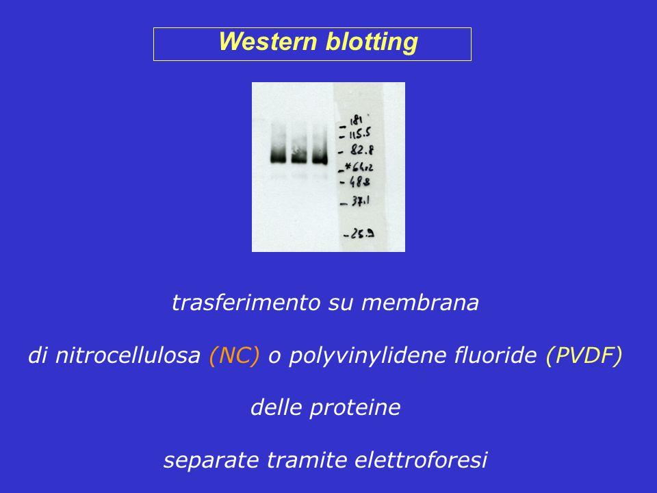 Western blotting trasferimento su membrana