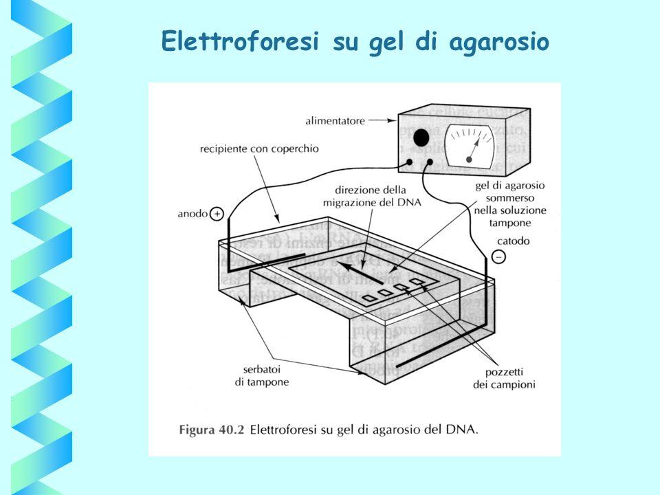 Elettroforesi su gel di agarosio