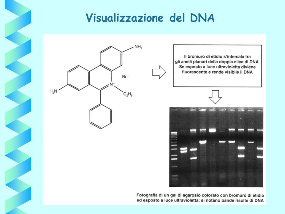 Visualizzazione del DNA