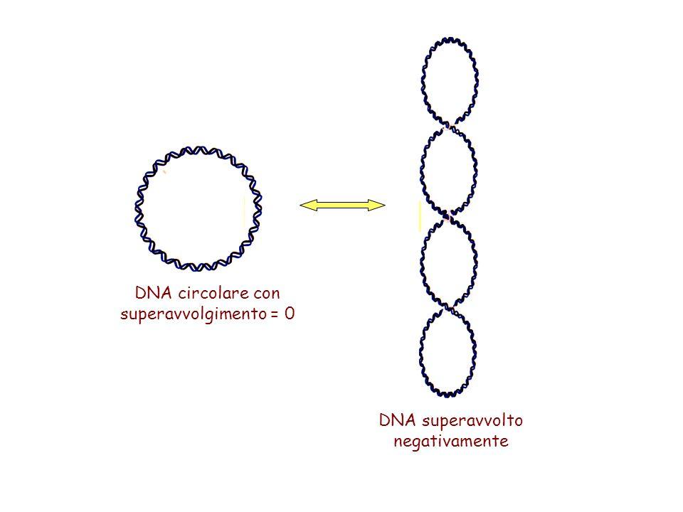 DNA superavvolto negativamente DNA circolare con superavvolgimento = 0