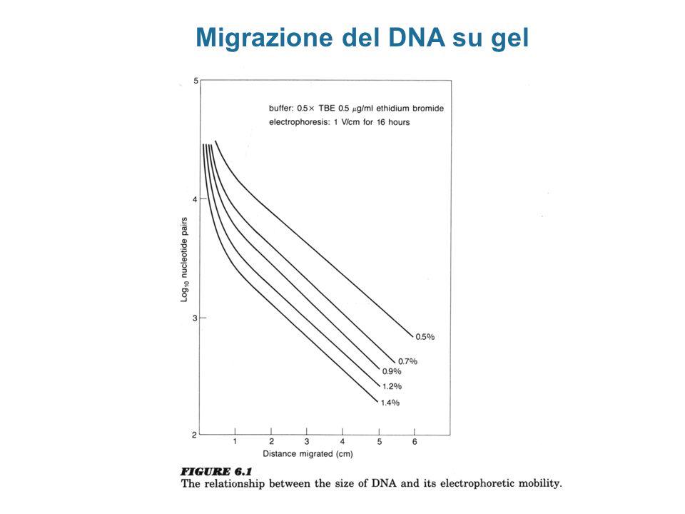 Migrazione del DNA su gel