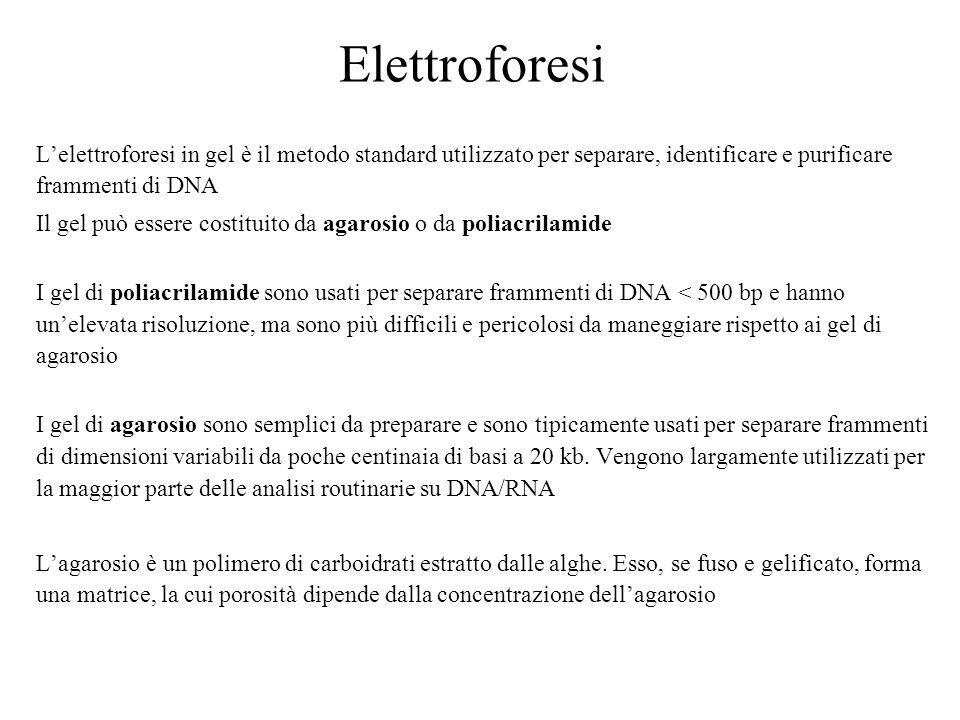 Elettroforesi L'elettroforesi in gel è il metodo standard utilizzato per separare, identificare e purificare frammenti di DNA.