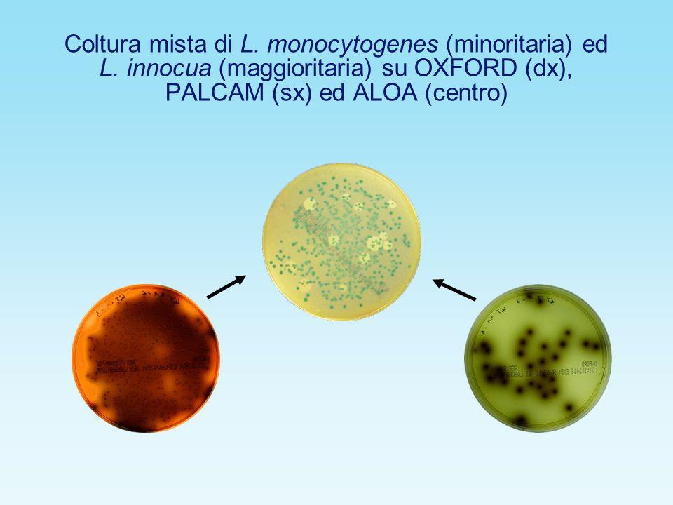 Coltura mista di L. monocytogenes (minoritaria) ed L