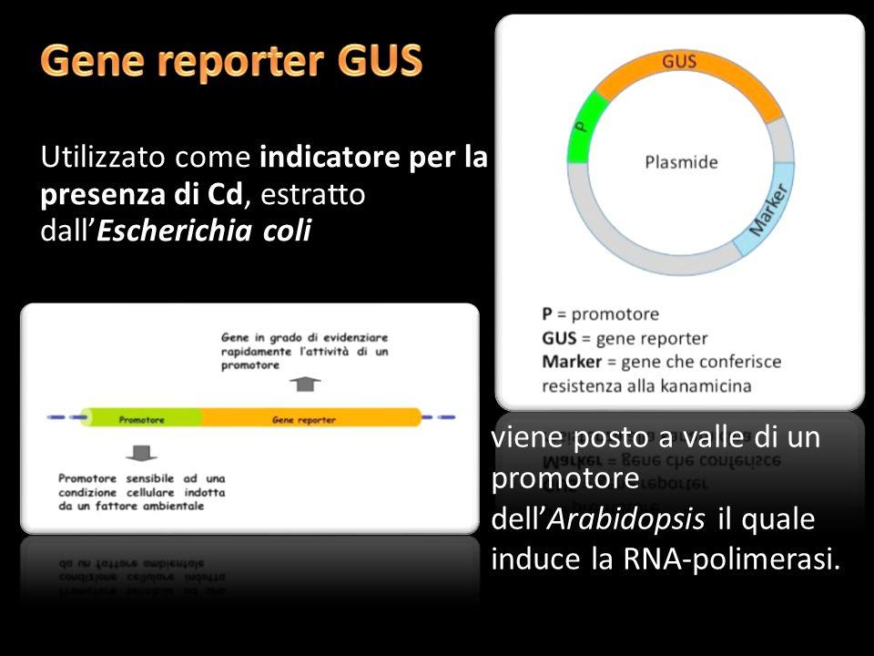 Gene reporter GUSUtilizzato come indicatore per la presenza di Cd, estratto dall'Escherichia coli