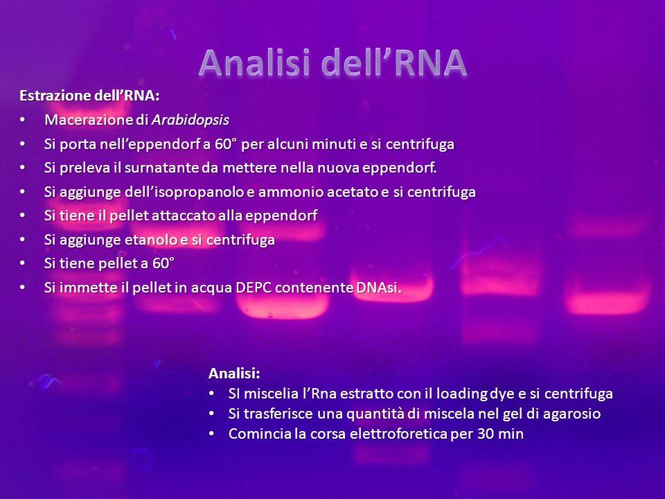 Analisi dell'RNA Estrazione dell'RNA: Macerazione di Arabidopsis