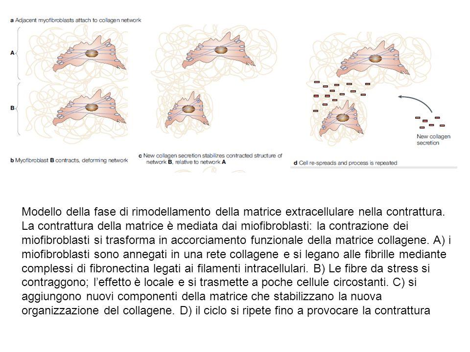 Modello della fase di rimodellamento della matrice extracellulare nella contrattura.