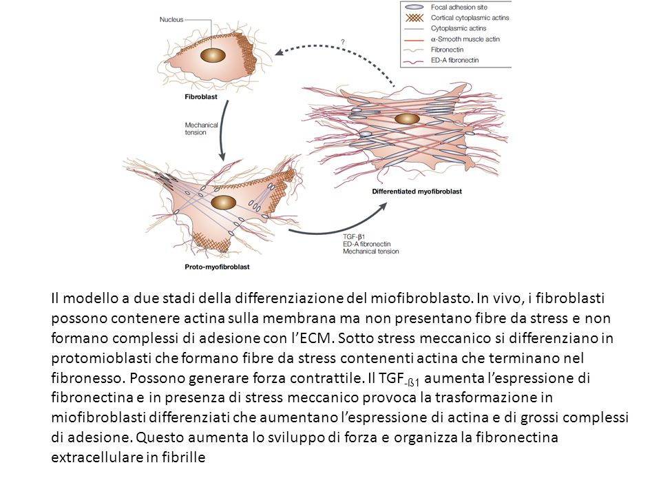 Il modello a due stadi della differenziazione del miofibroblasto
