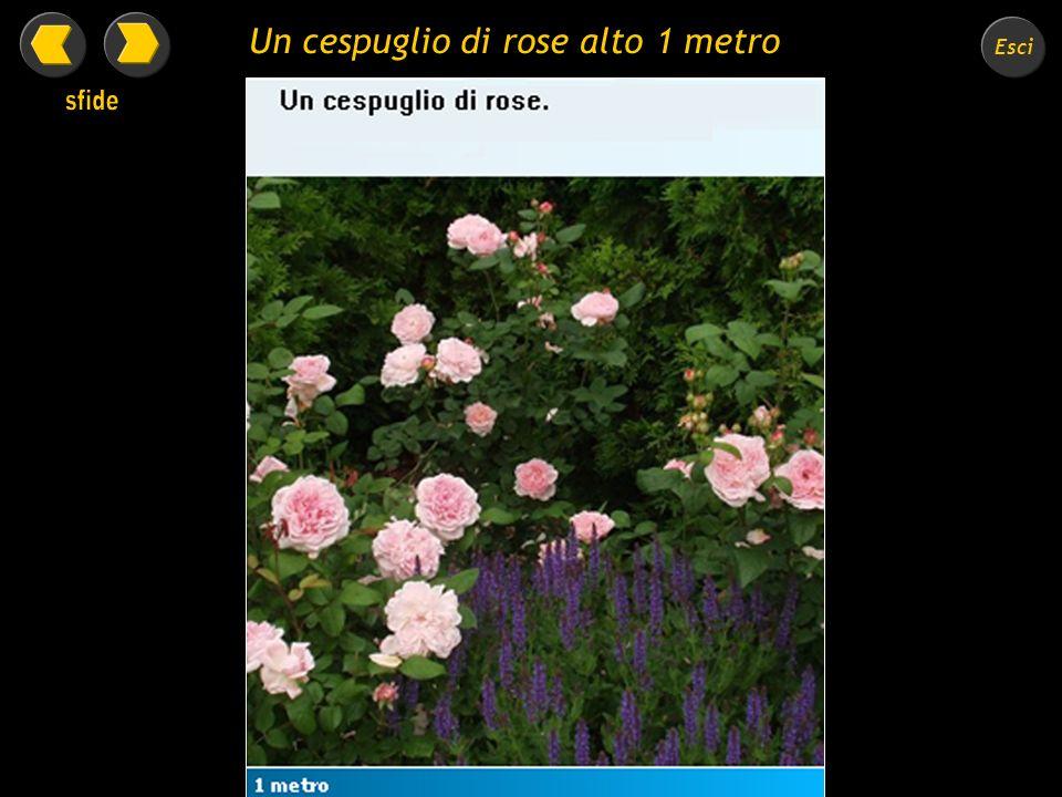 Un cespuglio di rose alto 1 metro