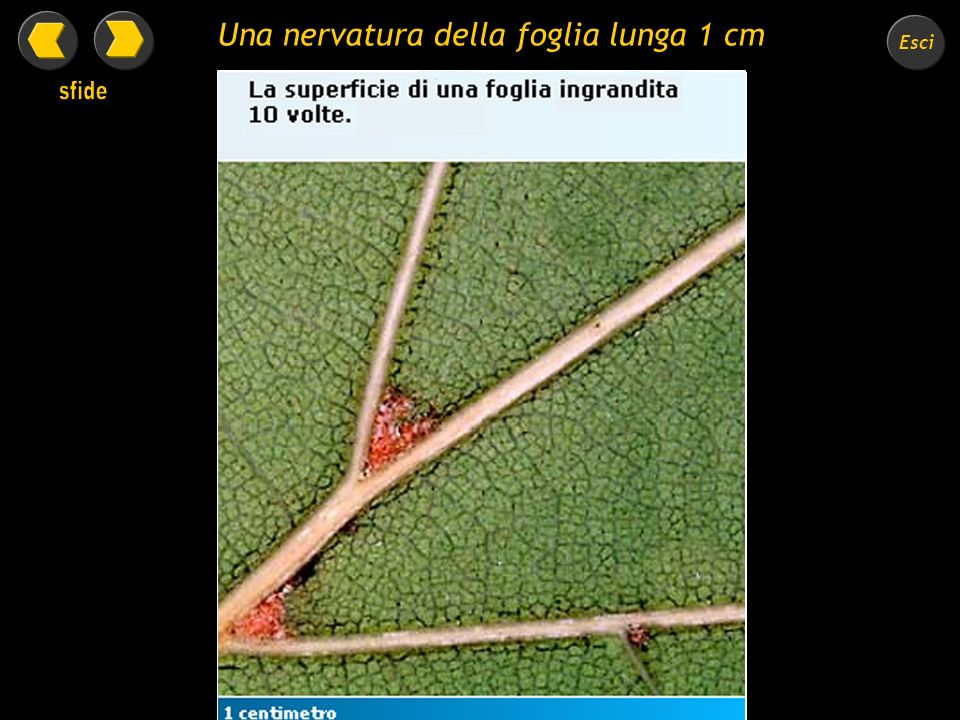 Una nervatura della foglia lunga 1 cm
