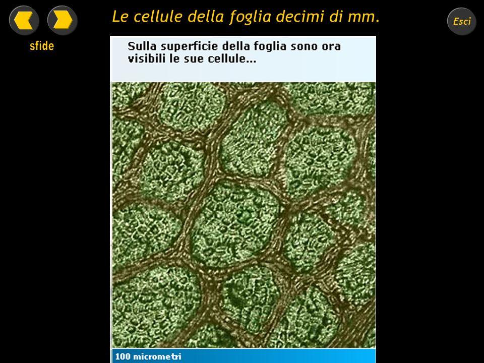 Le cellule della foglia decimi di mm.