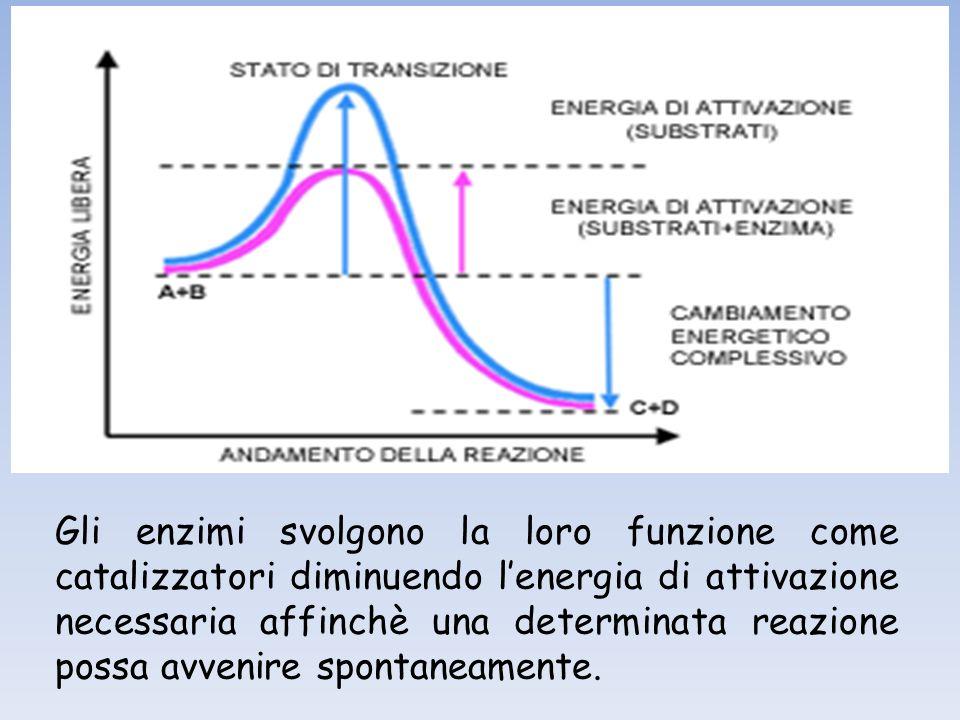 Gli enzimi svolgono la loro funzione come catalizzatori diminuendo l'energia di attivazione necessaria affinchè una determinata reazione possa avvenire spontaneamente.