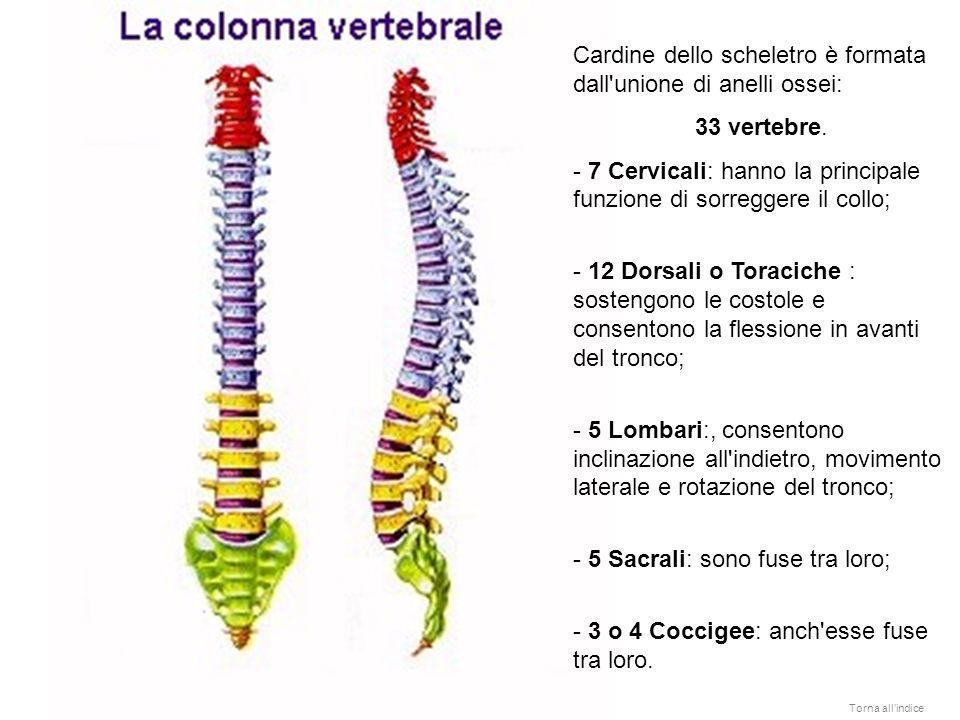 Cardine dello scheletro è formata dall unione di anelli ossei: