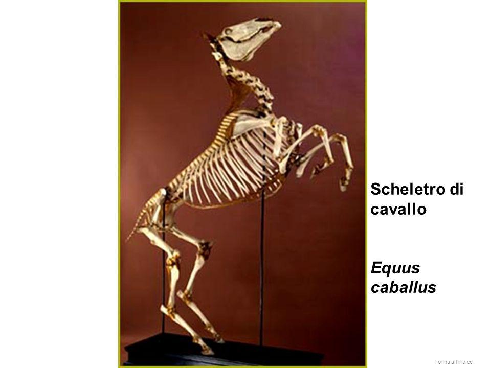 Scheletro di cavallo Equus caballus Torna all'indice