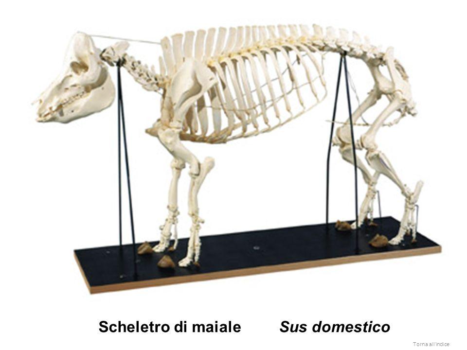 Scheletro di maiale Sus domestico