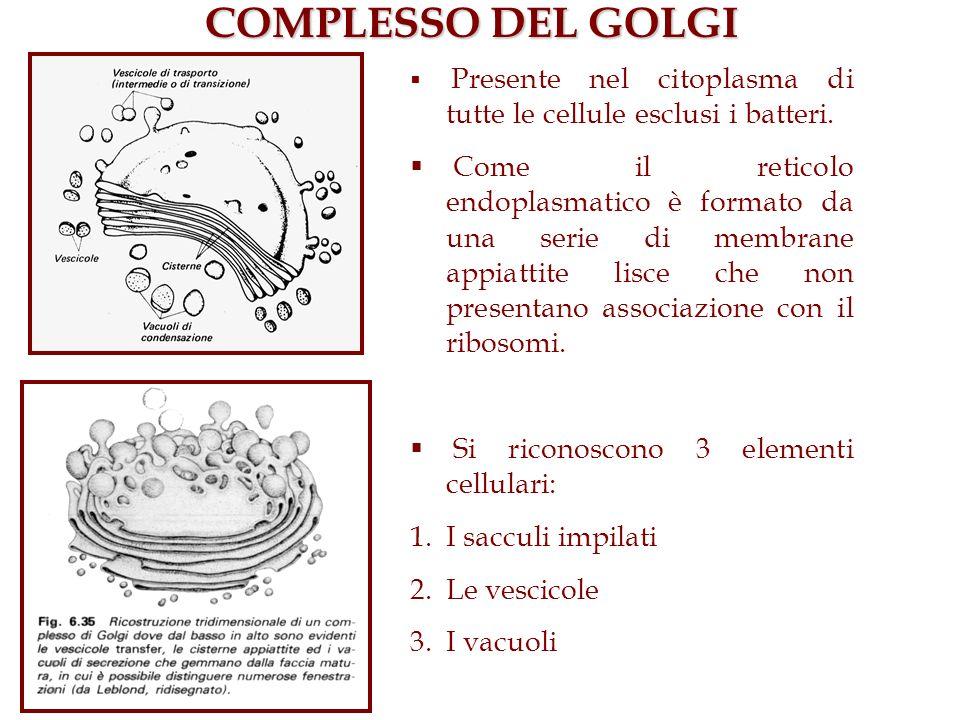 COMPLESSO DEL GOLGI Presente nel citoplasma di tutte le cellule esclusi i batteri.