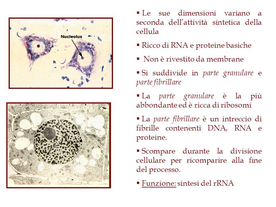 Le sue dimensioni variano a seconda dell'attività sintetica della cellula