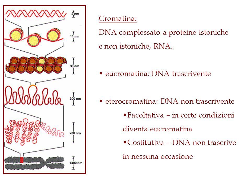 Cromatina: DNA complessato a proteine istoniche. e non istoniche, RNA. eucromatina: DNA trascrivente.
