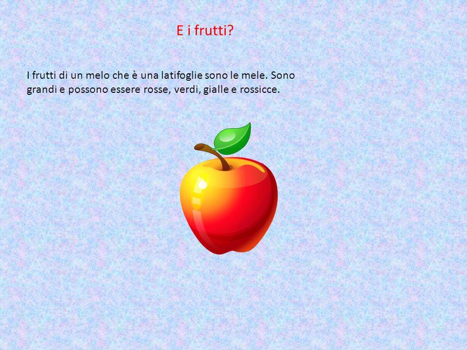 E i frutti. I frutti di un melo che è una latifoglie sono le mele.